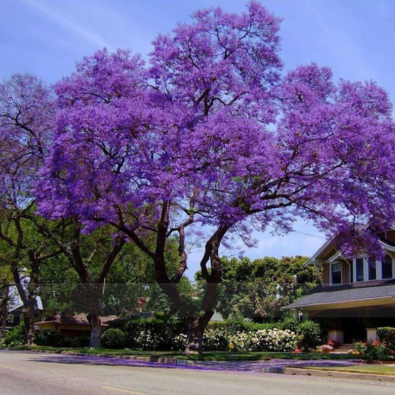 50-Best-Paulownia-Seeds-font-b-empress-b-font-font-b-tree-b-font-Romantic-Flower Top 10 Fastest Growing Trees in the World