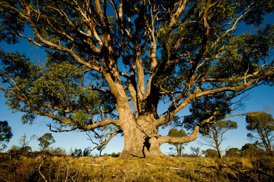 72662 Top 10 Fastest Growing Trees in the World