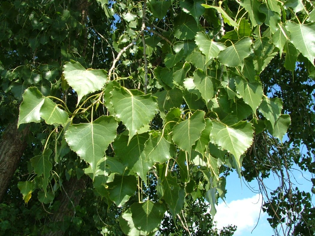 Cottonwood_leaves Top 10 Fastest Growing Trees in the World