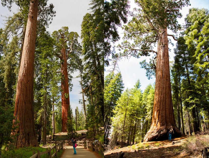 Giant-Sequoia-Trees Top 10 Fastest Growing Trees in the World
