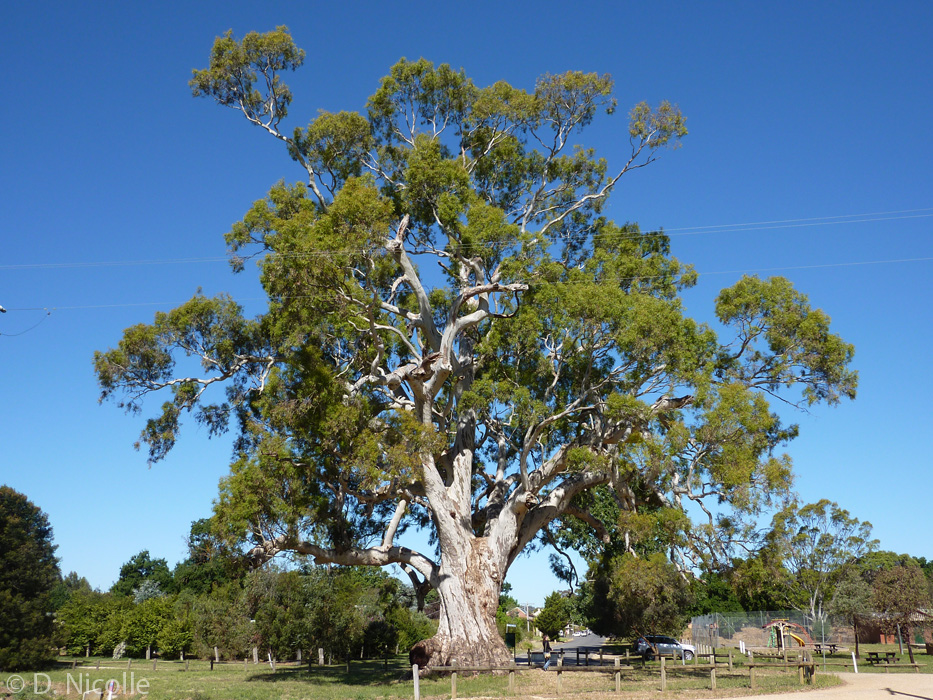 Guildford-Tree-Eucalyptus-camaldulensis-red-gum Top 10 Fastest Growing Trees in the World