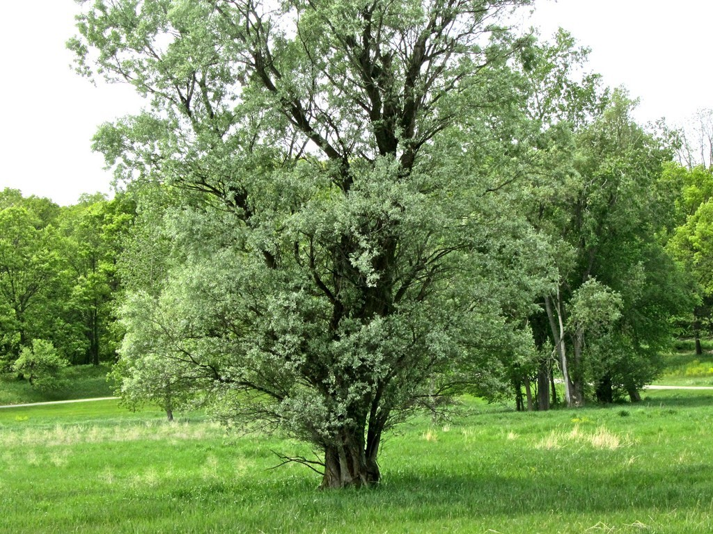 cottonwood-tree Top 10 Fastest Growing Trees in the World