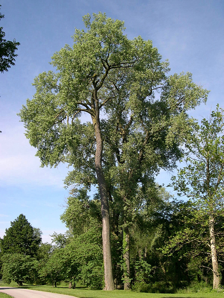 cottonwoodPopulus-deltoides2 Top 10 Fastest Growing Trees in the World