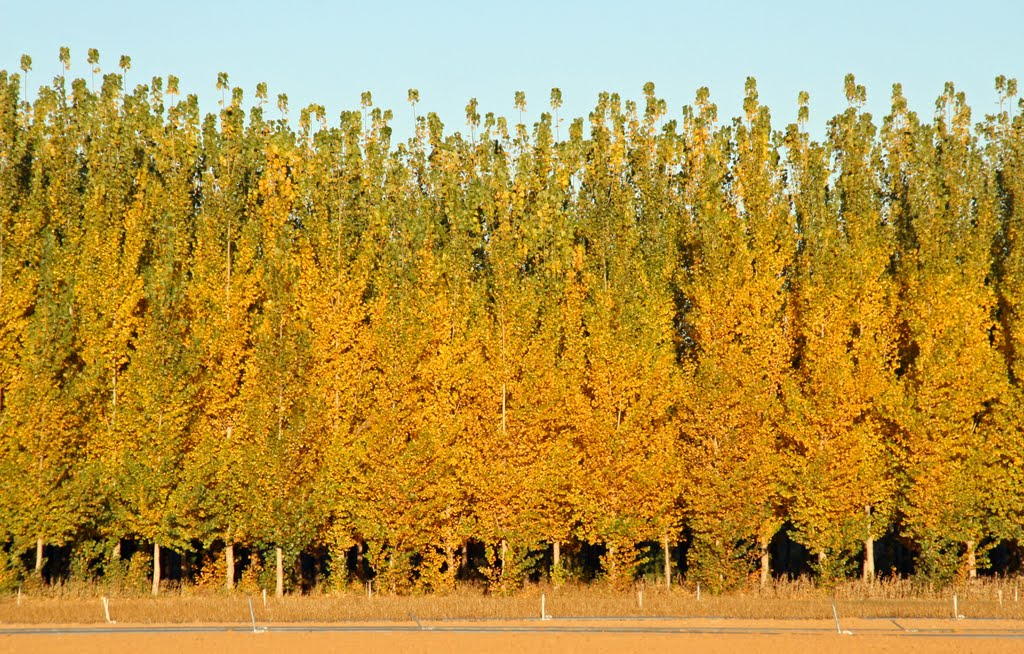 hybrid-poplar-2 Top 10 Fastest Growing Trees in the World