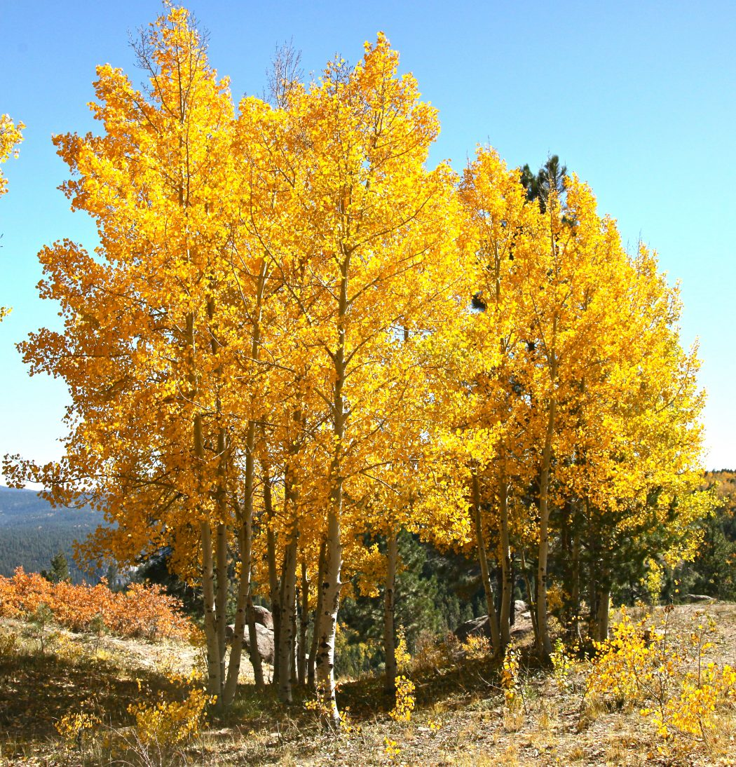 quaking-aspen2-1 Top 10 Fastest Growing Trees in the World