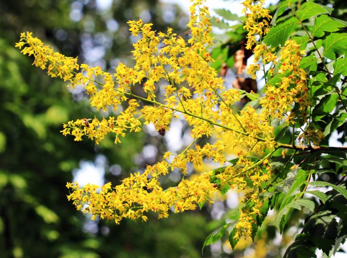 10-675x503 Top 10 Summer-Blooming Trees for Your Garden