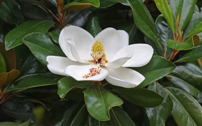Magnolia_flower_Duke_campus-675x422 Top 10 Summer-Blooming Trees for Your Garden
