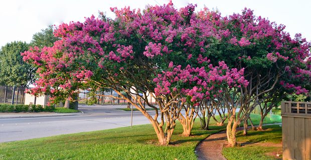 crepe Top 10 Summer-Blooming Trees for Your Garden
