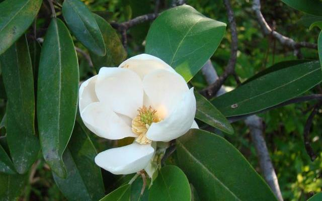sweetbay-magnolia-flower-640x4 Top 10 Summer-Blooming Trees for Your Garden