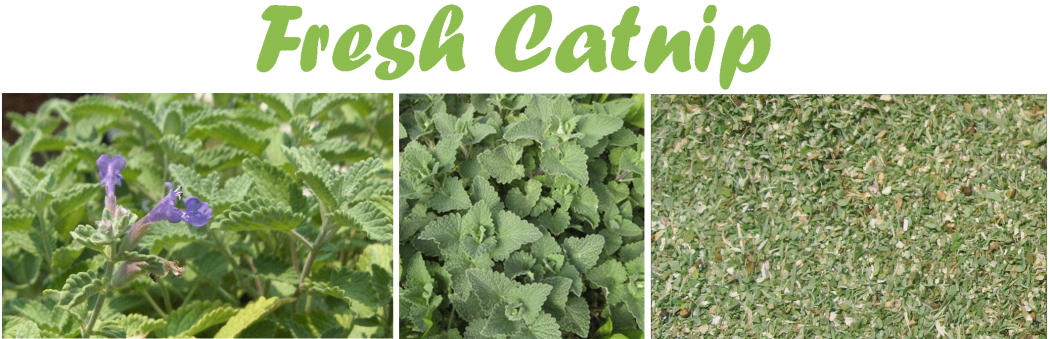 Catnip4 6 Main Healing Products That Are Effective