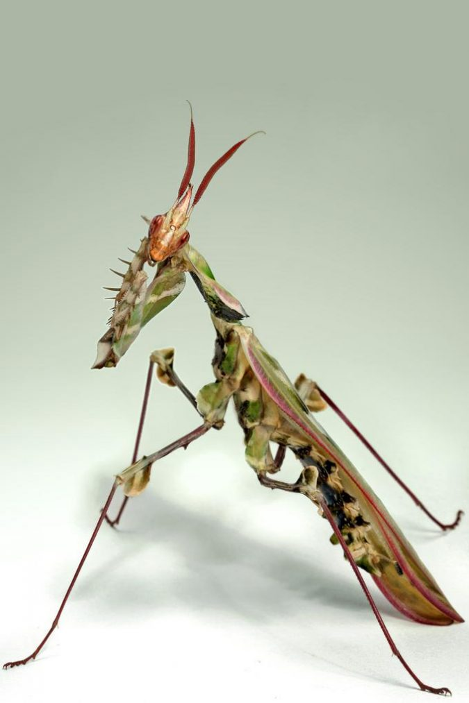 Devil's-Flower-Mantis-Idolomantis-Diabolica-675x1013 11 exceptional Insects Realm Creatures