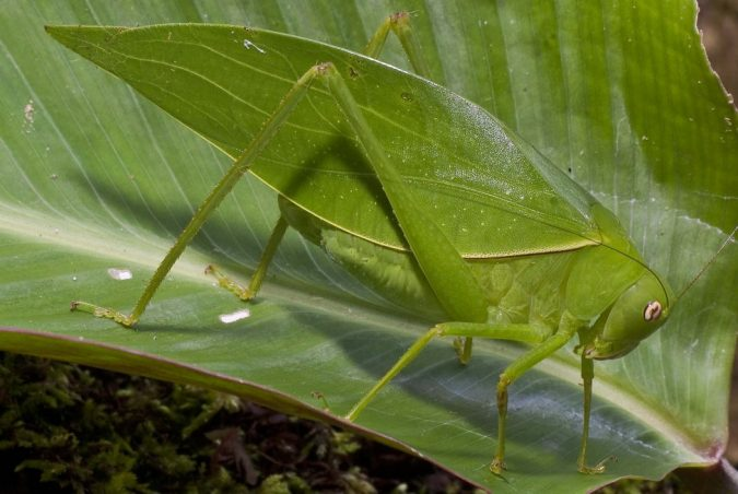 Giant-Long-Legged-Katydid2-675x452 11 exceptional Insects Realm Creatures