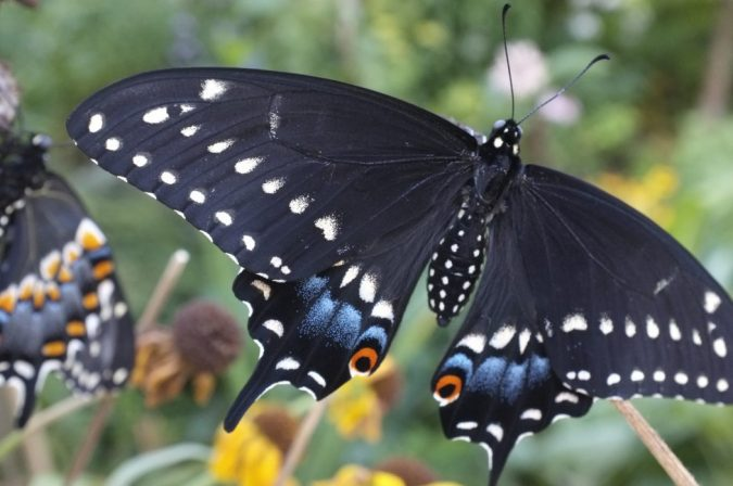 Pipevine-Swallowtail-Caterpillar-675x448 11 exceptional Insects Realm Creatures
