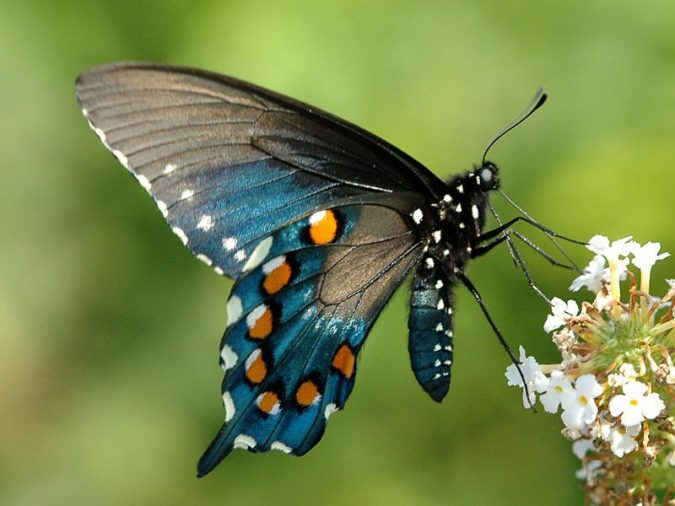 pipevine-swallowtail-675x506 11 exceptional Insects Realm Creatures