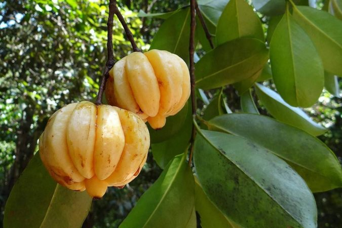 Garcinia-cambogia-675x450 Weight Loss with the Help of Healthy Life & Garcinia Cambogia
