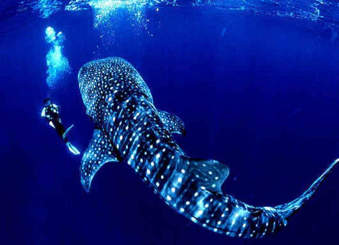 Philippine-Tubbataha-Whale-shark-675x488 Top 10 Most Attractive Places you Should Visit in Philippines