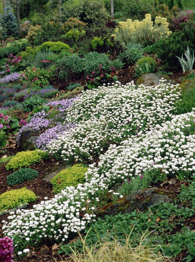 Candytuft-flowers-2-675x905 Top 10 Flowers That Bloom in Winter