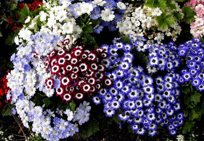 Cineraria-675x469 Top 10 Flowers That Bloom in Winter