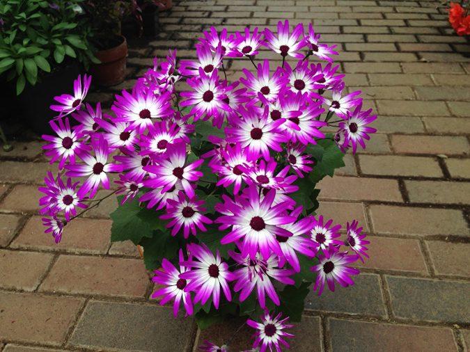Cineraria-flowers-675x506 Top 10 Flowers That Bloom in Winter