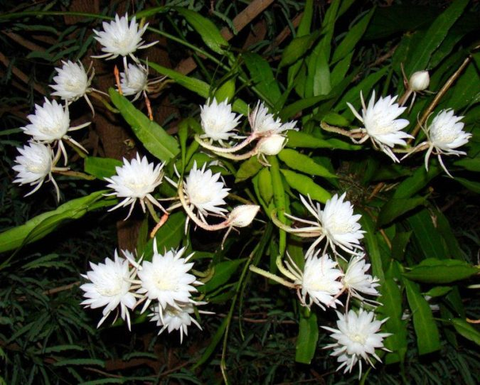 Dutchman's-Pipe-Cactus-2-675x542 Top 10 Flowers That Bloom at Night