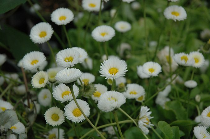 English-Daisies-675x449 Top 10 Flowers That Bloom in Winter