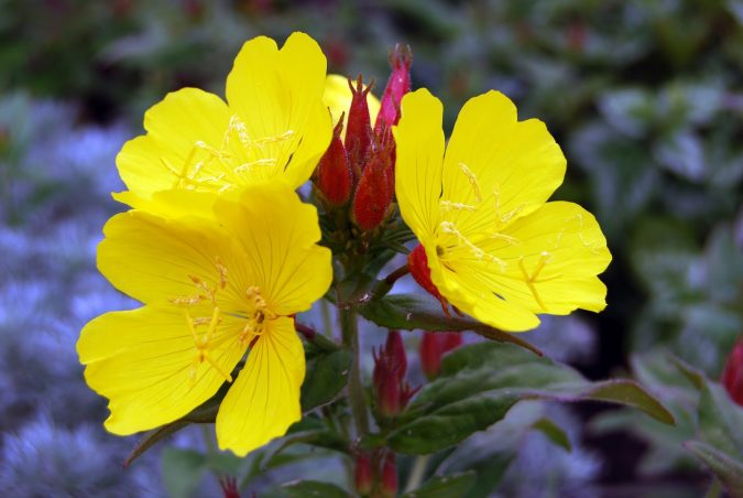 Evening-Primrose-2-675x452 Top 10 Flowers That Bloom at Night
