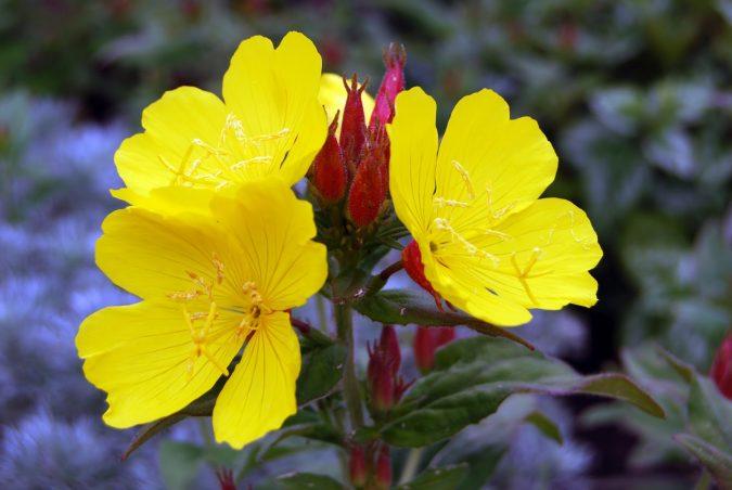 Evening-Primrose-2-675x452 Top 10 Flowers That Bloom at Night