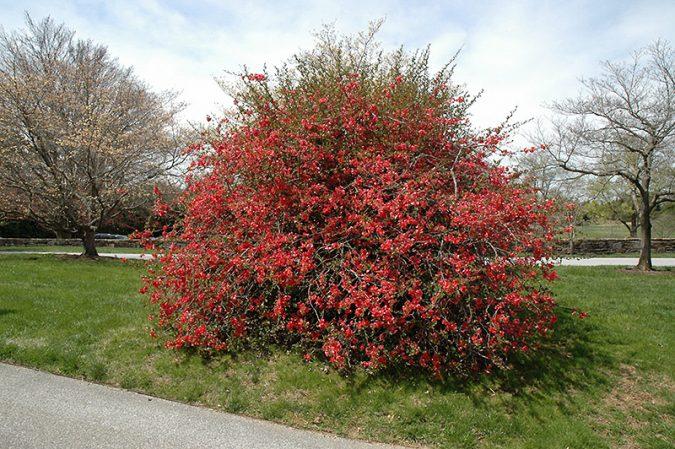 Flowering-Quince-bush-2-675x449 Top 10 Flowers That Bloom in Winter