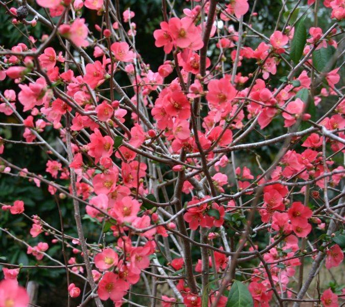 Flowering-Quince-bush-675x600 Top 10 Flowers That Bloom in Winter