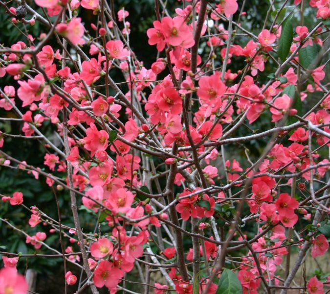 Flowering-Quince-bush-675x600 Top 10 Flowers That Bloom in Winter