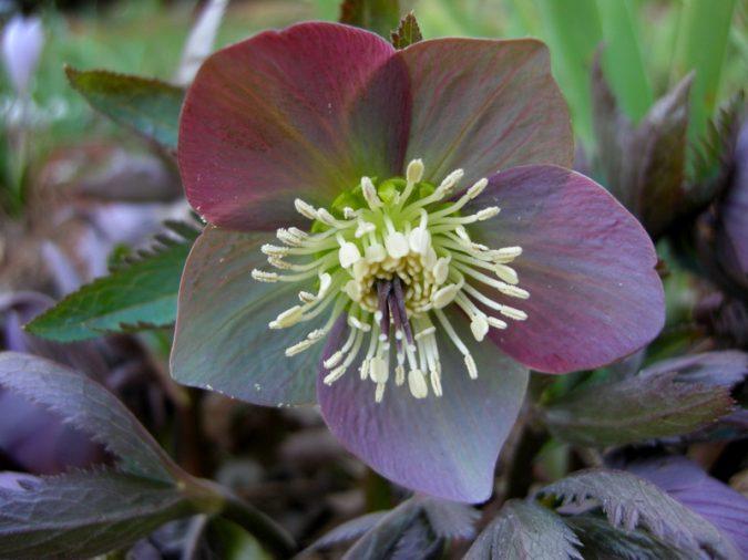 Hellebore-flower-675x506 Top 10 Flowers That Bloom in Winter