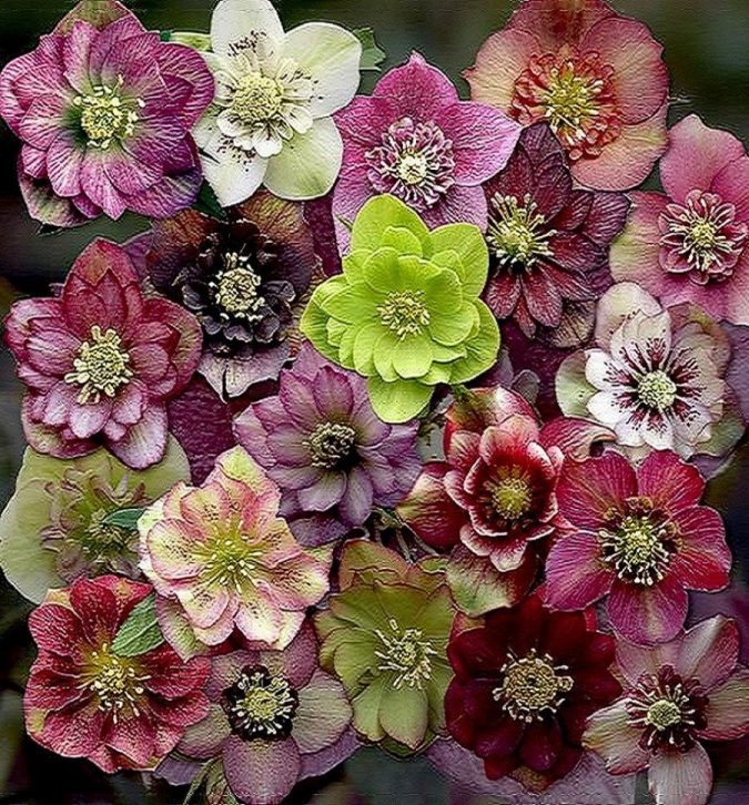 Hellebore-flowers-675x726 Top 10 Flowers That Bloom in Winter