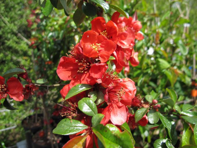 Japanese-Flowering-Quince-675x506 Top 10 Flowers That Bloom in Winter