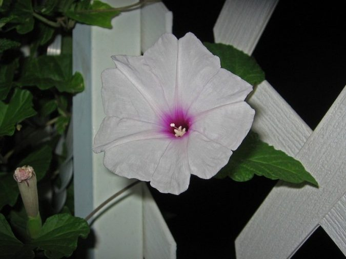 Moonflower-2-675x506 Top 10 Flowers That Bloom at Night