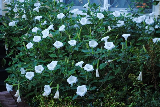 Moonflower-675x452 Top 10 Flowers That Bloom at Night