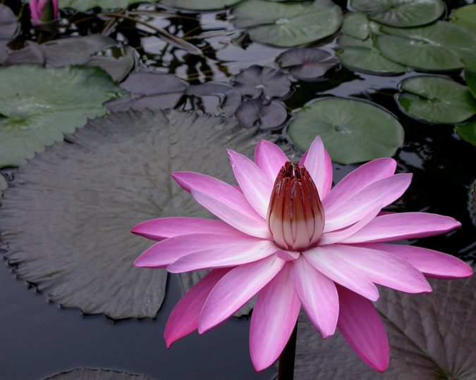 Night-Bloom-Water-Lilies-675x540 Top 10 Flowers That Bloom at Night