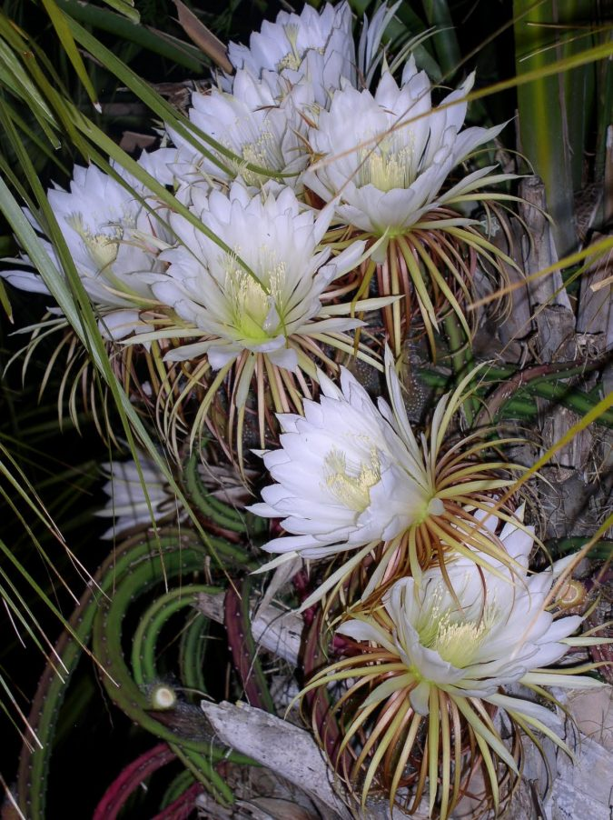 Night-Blooming-Cereus-2-675x902 Top 10 Flowers That Bloom at Night