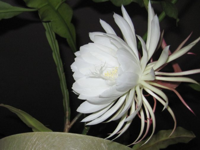 Night-Blooming-Cereus-675x506 Top 10 Flowers That Bloom at Night