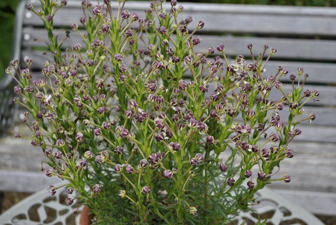Night-Phlox-2-675x452 Top 10 Flowers That Bloom at Night