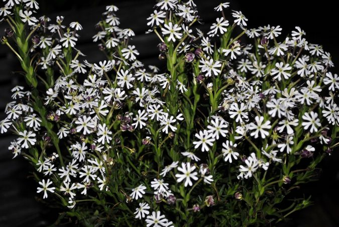 Night-Phlox-675x452 Top 10 Flowers That Bloom at Night