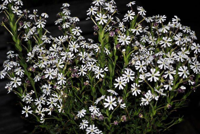 Night-Phlox-675x452 Top 10 Flowers That Bloom at Night