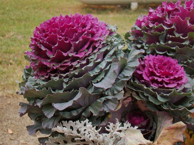 Ornamental-Cabbage-675x506 Top 10 Flowers That Bloom in Winter