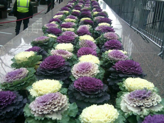 Ornamental-Cabbages-675x506 Top 10 Flowers That Bloom in Winter