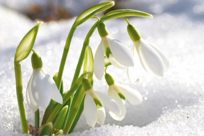Snowdrop-flowers-675x451 Top 10 Flowers That Bloom in Winter