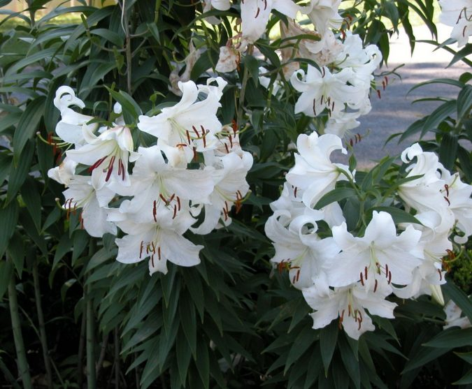 The-Casablanca-Lily-2-675x557 Top 10 Flowers That Bloom at Night