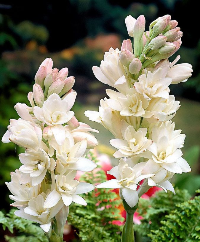 Tuberose-or-Tender-Bulb-2-675x814 Top 10 Flowers That Bloom at Night