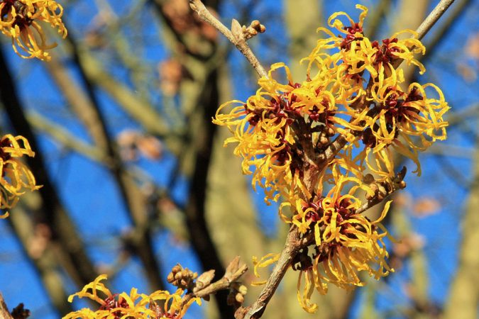 Witch-hazel-Flower-675x450 Top 10 Flowers That Bloom in Winter