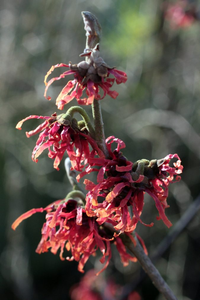 Witch-hazel-flowers-675x1013 Top 10 Flowers That Bloom in Winter