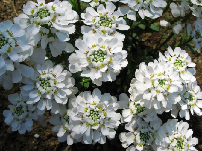 candytuft-flowers-675x506 Top 10 Flowers That Bloom in Winter