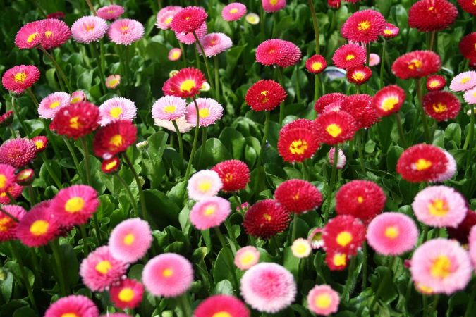 colorful-English-Daisies-675x450 Top 10 Flowers That Bloom in Winter